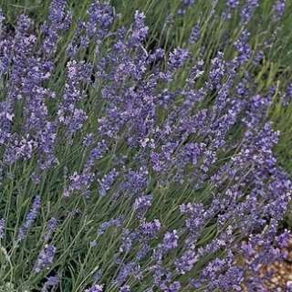 flower seed . lavender munstead type