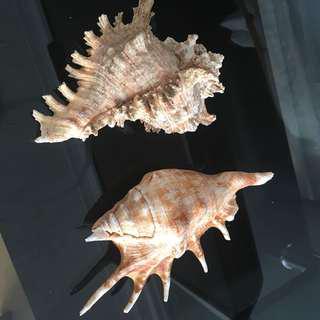 Two beautiful sea shells (about fist size)