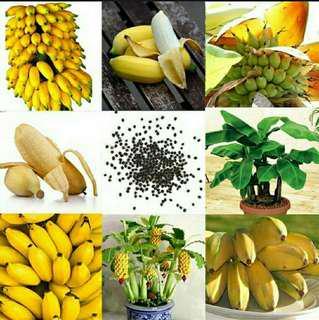 Dwarf banana tree semillas