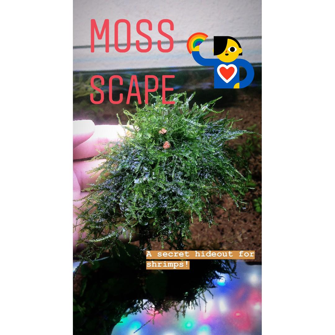 Aquatic Plant - Moss Scape, Gardening, Plants on Carousell