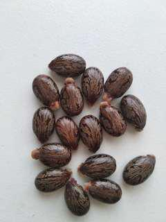 Castor oil seeds/jarak merah