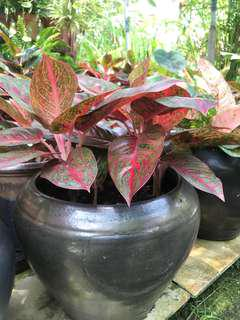 Plant in pot for indoor and outdoor