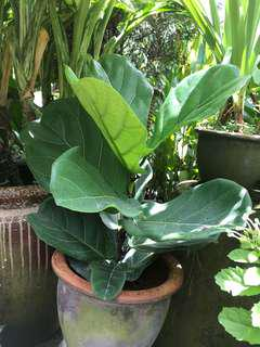 Ficus/fiddle fig in pot real plant