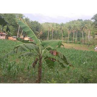FARM LOT FOR SALE 13.7 HECTARES IN AMPONGOL SOGOD CEBU
