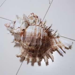 Large Murex Seashells