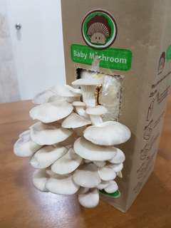 Baby mushroom DIY kit