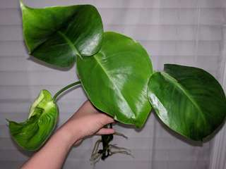 Rooted Monstera Deliciosa cutting