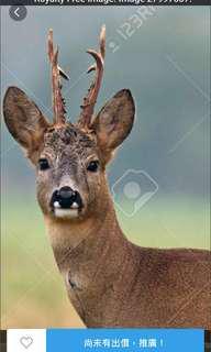 Antler of Ruo deer