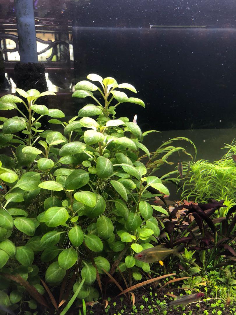 Aquatic Plant Lobelia Cardinalis Mini Gardening Plants On Carousell