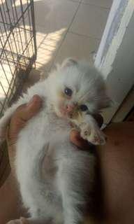 Kucing persia betina ready for booked