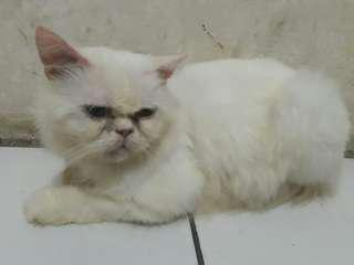 Pacak kucing flatnose white solid Blue eyes