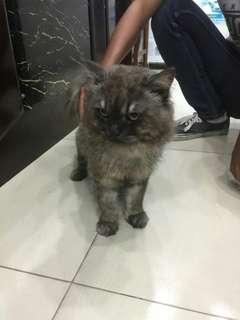 Kucing Persia Flatnose, Mix Himalaya, 1,5 Thn, Sehat, Terawat