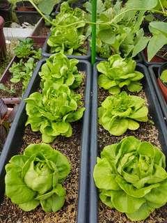 Butterhead Lettuce Grown Organically