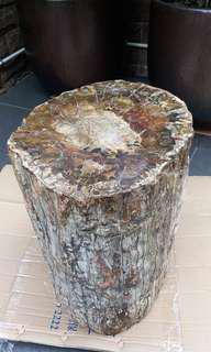 原木化石。直徑10-11吋,高度16吋