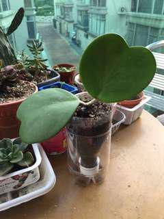 心葉毬蘭 雙葉 自家種植