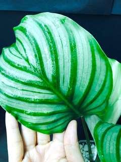 蘋果竹芋 藍花蕉 有紋葉植物 特別品種 室內 盆栽 生長中 有機種植 Arrowroot gardening plant