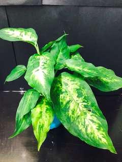 萬年青 belgium gardening 植物 花葉 綠葉盆栽 可水種 有機種植 可放室內 辦公室 evergreen plant 風水