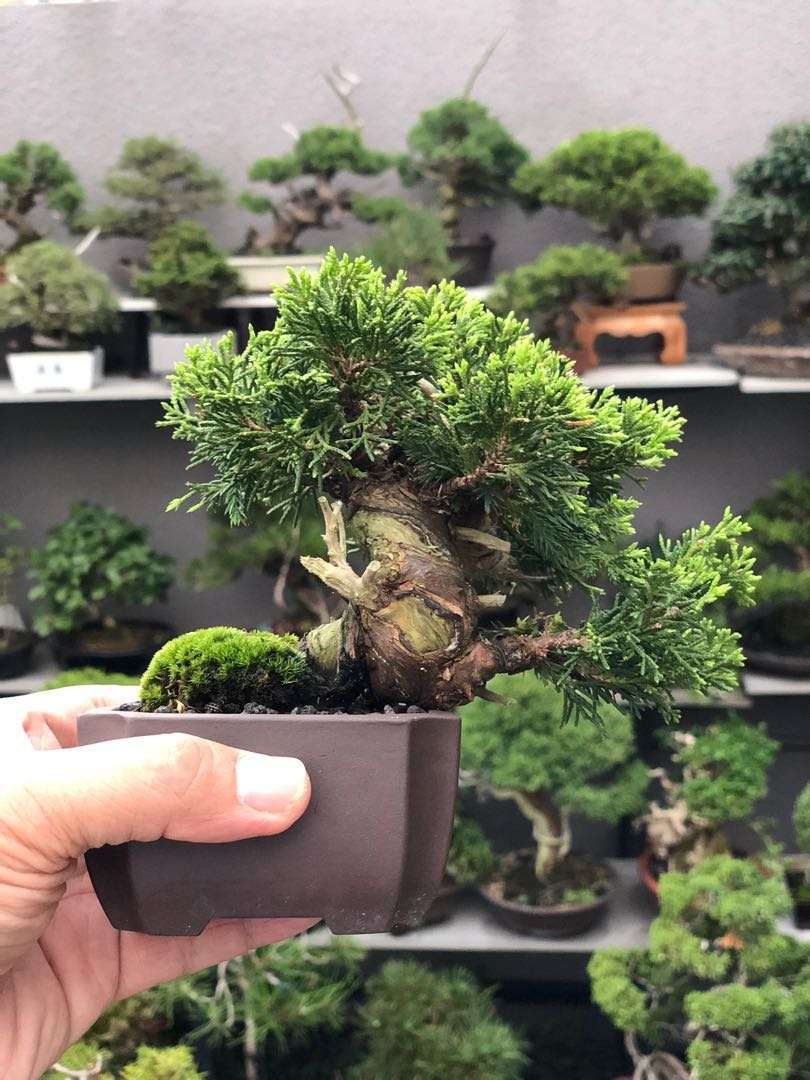 Japanese Shimpaku Bonsai, Gardening, Plants on Carousell
