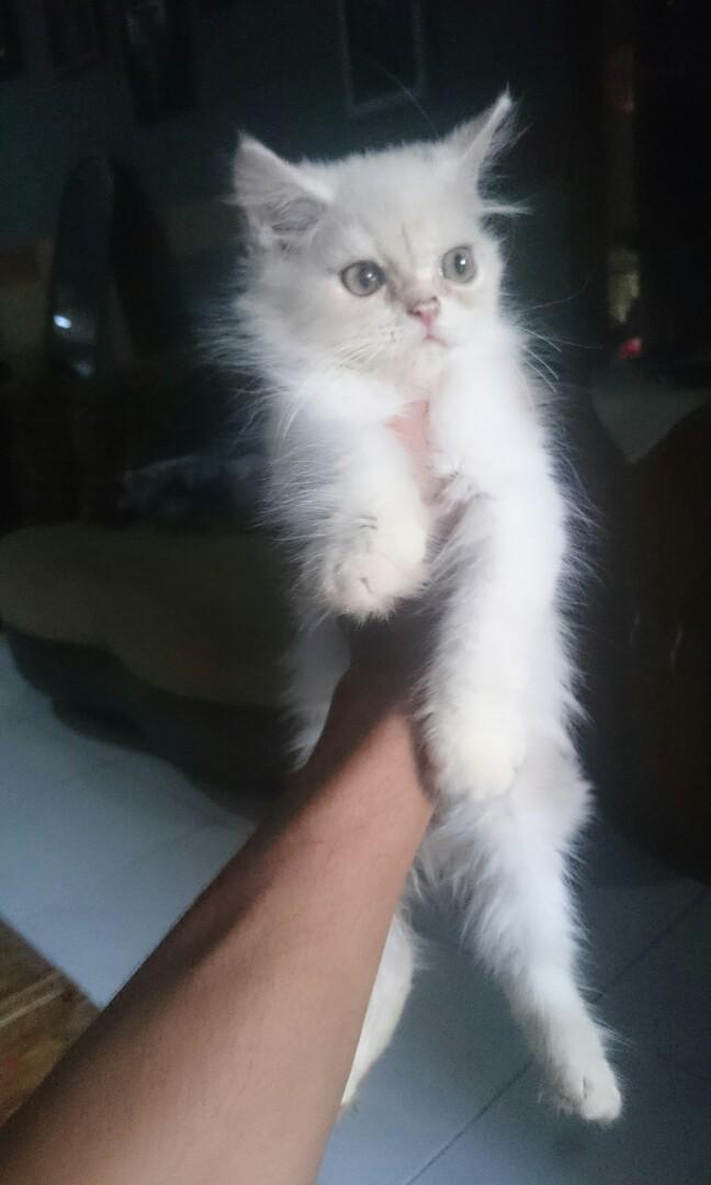Download 66+  Gambar Kucing Peranakan Persia Lucu Gratis