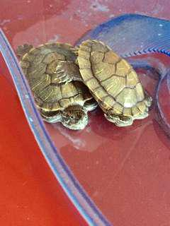Turtle Terrapins for adoption