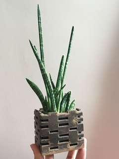 虎尾蘭 連盆 (小型桌上盆栽)