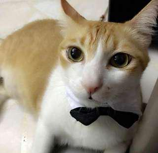 Cat/Dog Tuxedo Bow Collar SALE!