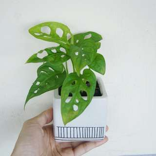 HOLD)仙洞萬年青 (Window Leaf Monstera)室內植物組合 indoor plants 耐陰盆栽 連盆 16cm(H)