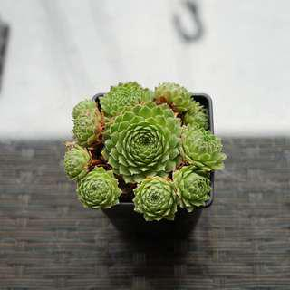 Sempervivum Hen & Chick Succulents.