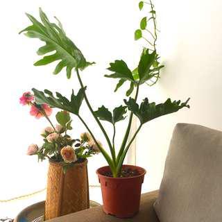 monstera deliciosa plant