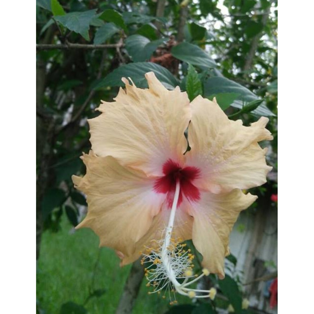 3pcs Hibiscus Cutting Peach With Deep Red Center Rumah