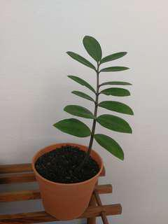 Zz plant (金钱树)(For viewing only)