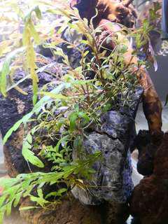 Hygrophila Pinnatifida on Seiryu rock