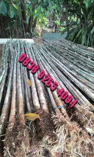 Tanaman pagar bambu jepang - Pohon bambu jepang