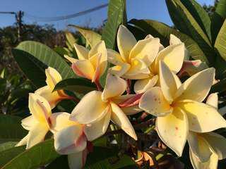 Bowen Yellow Frangipani Tree