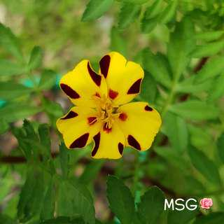 MARIGOLD HARLEQUIN SEEDS (Pack of 10 seeds)