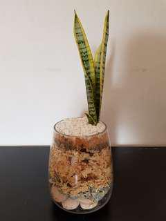 Snake Plant (Sansevieria trifasciata) in Glass Vase