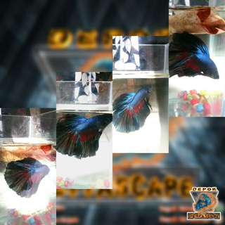 Ikan Cupang Halfmoon Blue Orchid