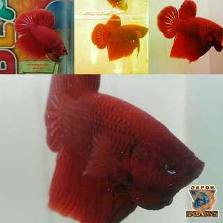Ikan Cupang Plakad Super Red