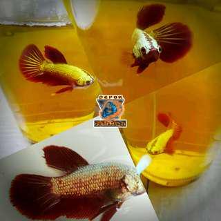 Ikan Cupang Baby Plakad Red Dragon