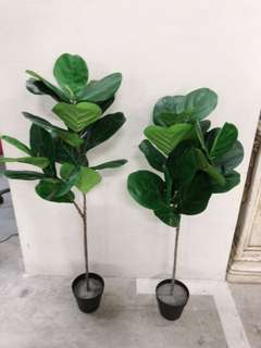 New fiddle fig tree - 105-110cm