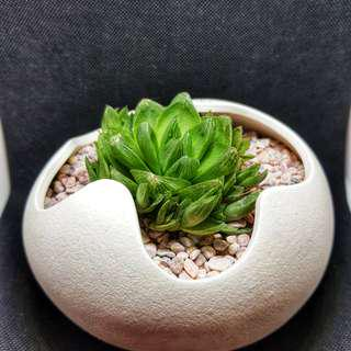 Succulents in eggy pot