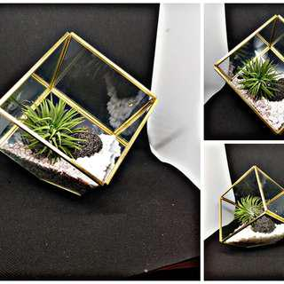 Air Plant in Glass cube