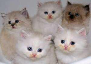 Kucing inpor scootis