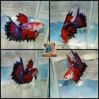 Ikan Cupang Star Pheonix Galaxy Koi Halfmoon