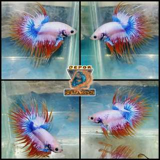 Ikan Cupang Fancy Crown Tail