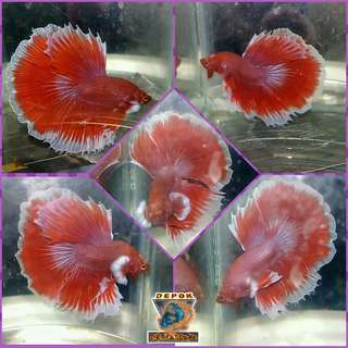 Ikan Cupang Big Ear Lavender Halfmoon
