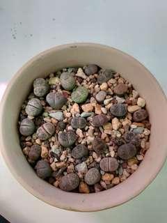 Succulent plant lithop whole pot for sale