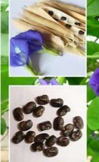 Butterfly Blue Pea Seeds