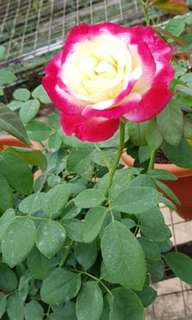 Plant - locally grown Rose 🌹 (2.5-3ft)