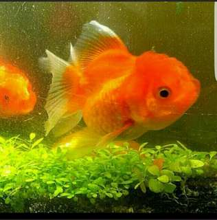 Fast Growing Seeds Water Plants No CO2 fish tank submerged floating plants Duck  Pond Aquarium